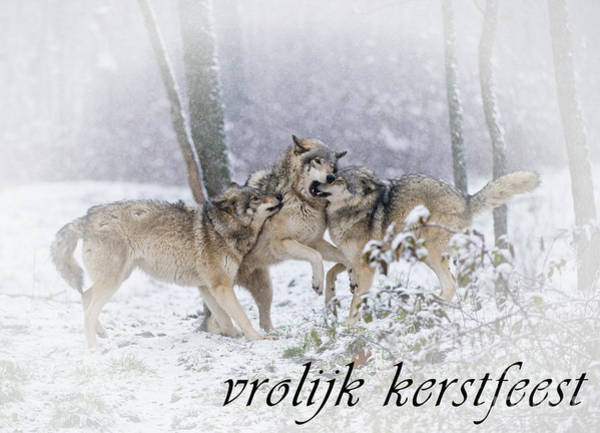 Photograph - Timber Wolf Christmas Card Dutch 14 by Wolves Only