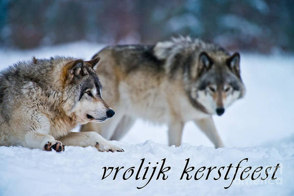 Photograph - Timber Wolf Christmas Card Dutch 17 by Wolves Only