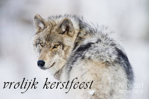 Photograph - Timber Wolf Christmas Card Dutch 19 by Wolves Only