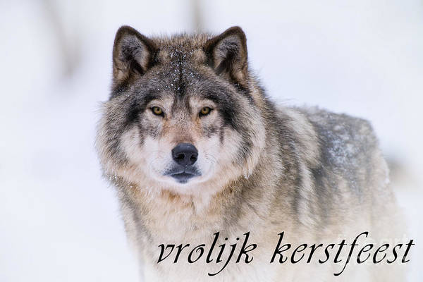 Photograph - Timber Wolf Christmas Card Dutch 20 by Wolves Only