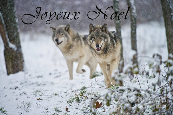 Photograph - Timber Wolf Christmas Card French 15 by Wolves Only