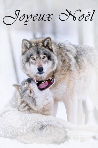 Photograph - Timber Wolf Christmas Card French 16 by Wolves Only