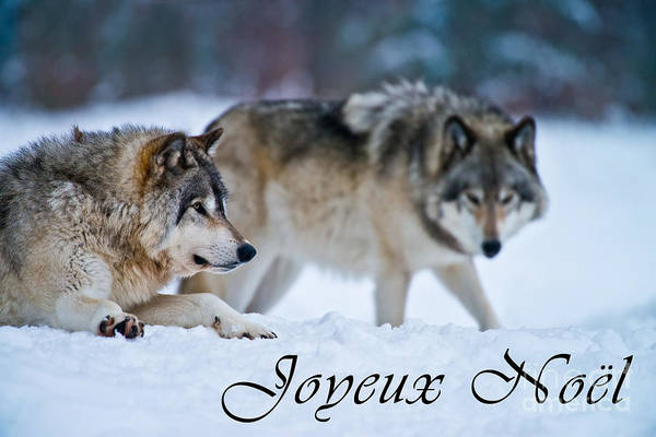 Photograph - Timber Wolf Christmas Card French 17 by Wolves Only