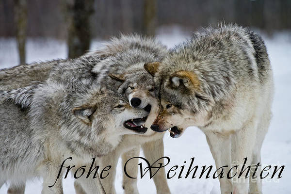 Photograph - Timber Wolf Christmas Card German 13 by Wolves Only