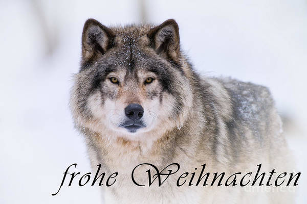 Photograph - Timber Wolf Christmas Card German 20 by Wolves Only