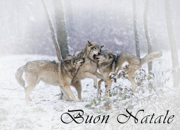 Photograph - Timber Wolf Christmas Card Italian 14 by Wolves Only