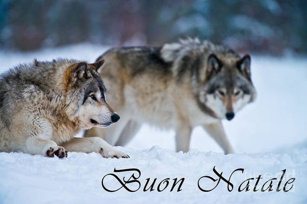 Photograph - Timber Wolf Christmas Card Italian 17 by Wolves Only