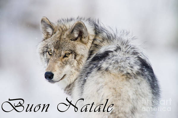 Photograph - Timber Wolf Christmas Card Italian 19 by Wolves Only