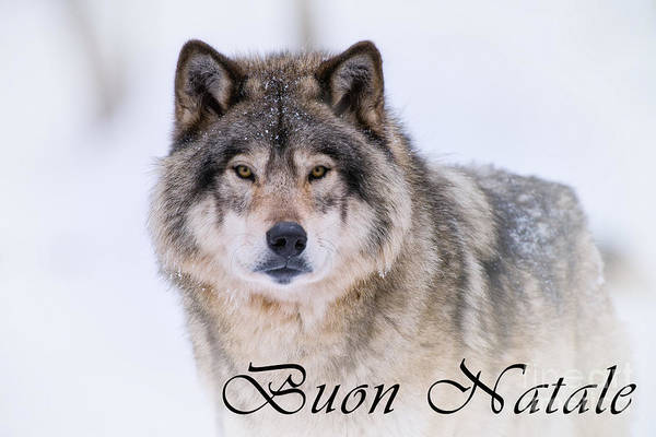 Photograph - Timber Wolf Christmas Card Italian 20 by Wolves Only