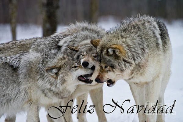 Photograph - Timber Wolf Christmas Card Spanish 13 by Wolves Only
