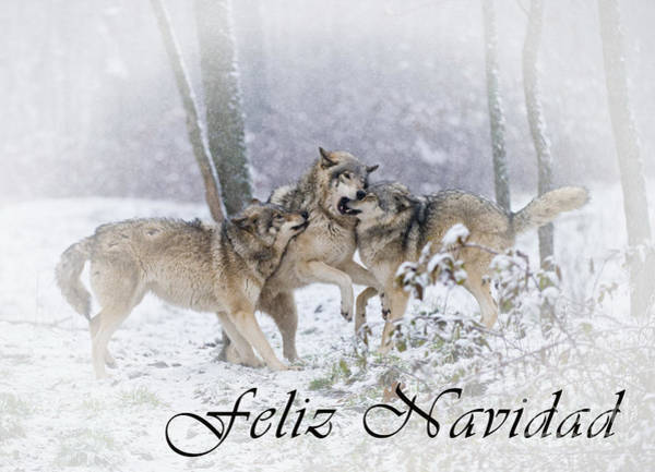 Photograph - Timber Wolf Christmas Card Spanish 14 by Wolves Only