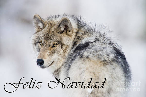 Photograph - Timber Wolf Christmas Card Spanish 19 by Wolves Only