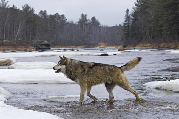 Wall Art - Photograph - Timber Wolf Crossing River Minnesota by Ingo Arndt