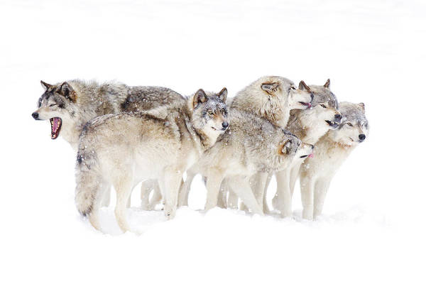 Mammal Photograph - Timber Wolf Family by Jim Cumming