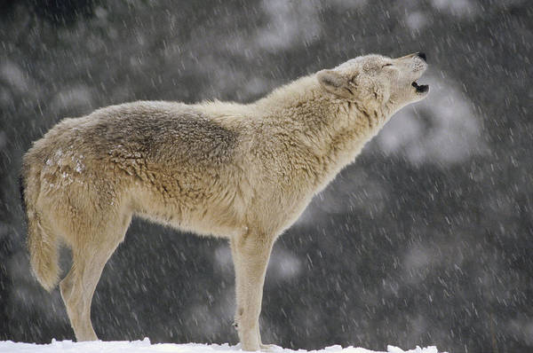 Wall Art - Photograph - Timber Wolf Female Howling North America by Gerry Ellis