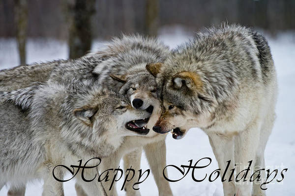 Photograph - Timber Wolf Holiday Card 13 by Wolves Only
