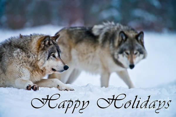 Photograph - Timber Wolf Holiday Card 17 by Wolves Only