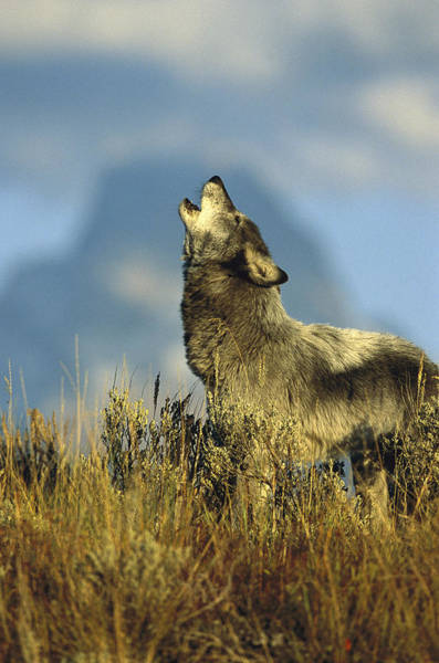 Wall Art - Photograph - Timber Wolf Howling Idaho by Tom Vezo