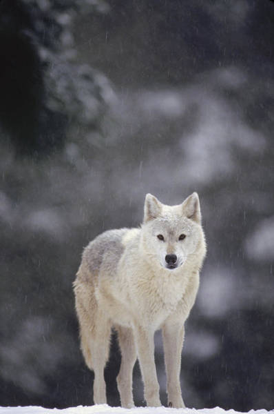 Wall Art - Photograph - Timber Wolf In Falling Snow by Gerry Ellis