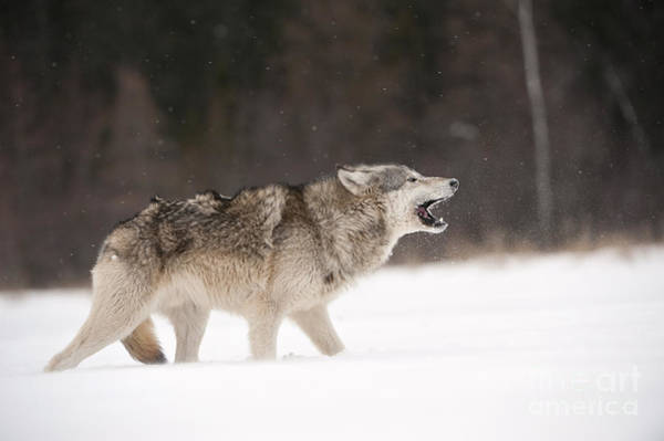 Timberwolves Photograph - Timber Wolf by John Shaw