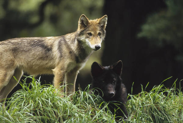 Wall Art - Photograph - Timber Wolf Juveniles North America by Gerry Ellis