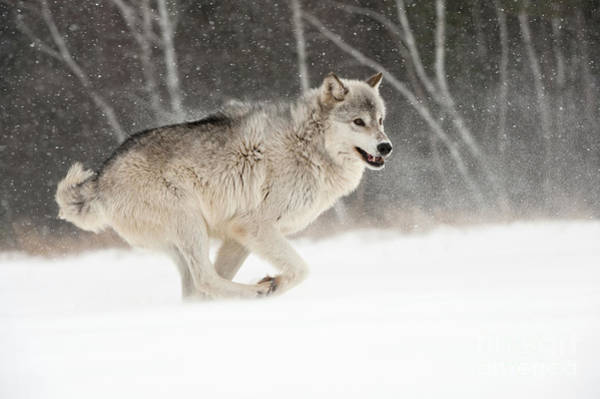 Timberwolves Photograph - Timber Wolf, Minnesota by John Shaw