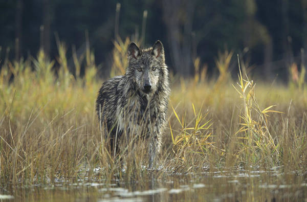 Wall Art - Photograph - Timber Wolf Pauses Montana by Tim Fitzharris