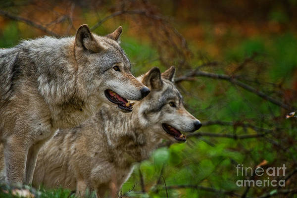 Photograph - Timber Wolf Photographs 277 by Wolves Only