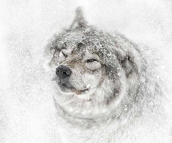Photograph - Timber Wolf Photographs 278 by Wolves Only