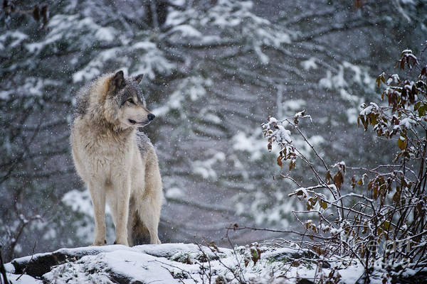 Timber Wolf Pictures 189 Art Print
