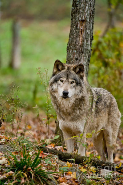 Photograph - Timber Wolf Pictures 199 by Wolves Only