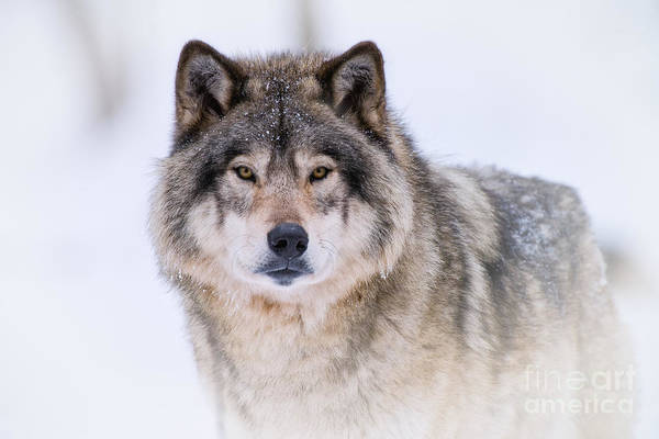 Timber Wolf Pictures 256 Art Print