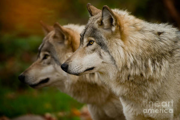 Photograph - Timber Wolf Pictures 269 by Wolves Only
