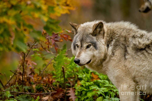 Photograph - Timber Wolf Pictures 271 by Wolves Only