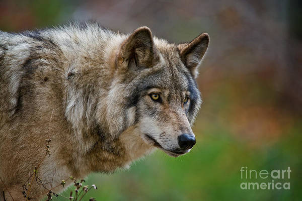 Photograph - Timber Wolf Pictures 274 by Wolves Only