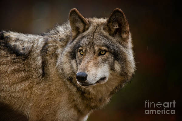 Photograph - Timber Wolf Pictures 276 by Wolves Only