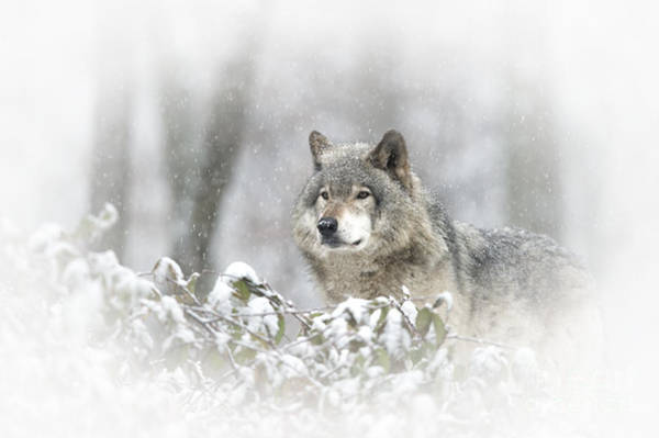 Timber Wolf Pictures 279 Art Print