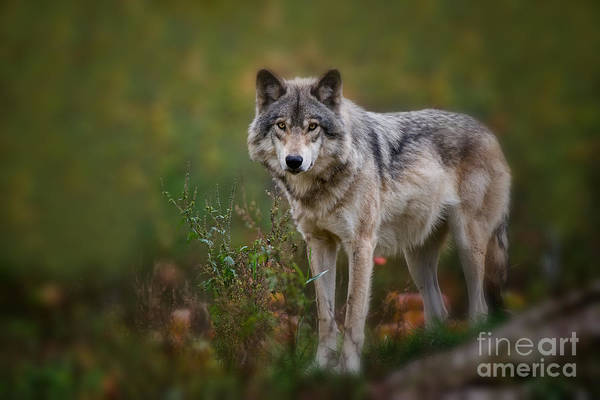 Timber Wolf Pictures 401 Art Print