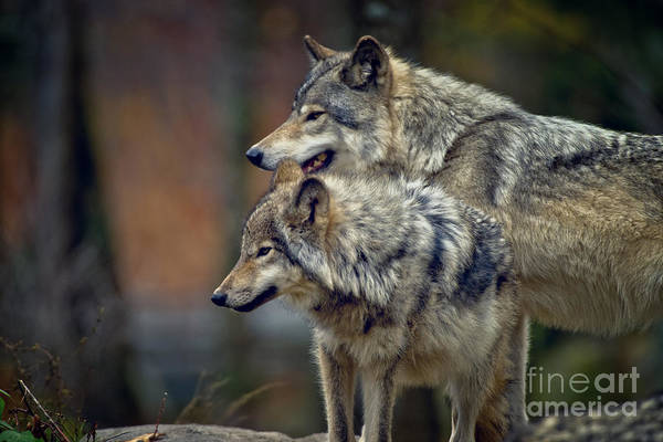 Photograph - Timber Wolf Pictures 403 by Wolves Only