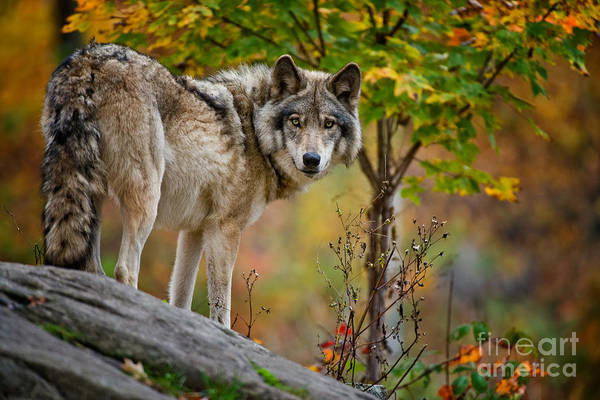 Photograph - Timber Wolf Pictures 406 by Wolves Only