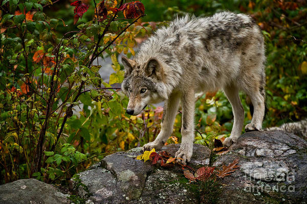 Photograph - Timber Wolf Pictures 408 by Wolves Only