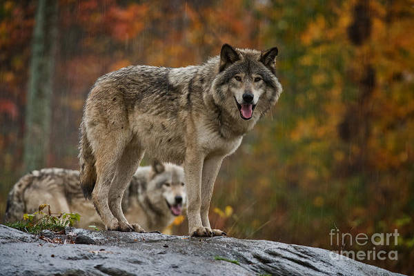 Photograph - Timber Wolf Pictures 410 by Wolves Only