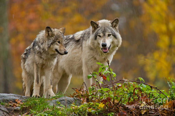 Photograph - Timber Wolf Pictures 411 by Wolves Only