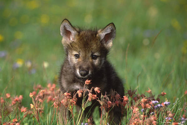 Wall Art - Photograph - Timber Wolf Pup North America by Tom Vezo