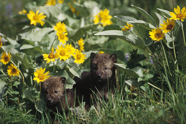 Wall Art - Photograph - Timber Wolf Pups And Flowers North by Gerry Ellis