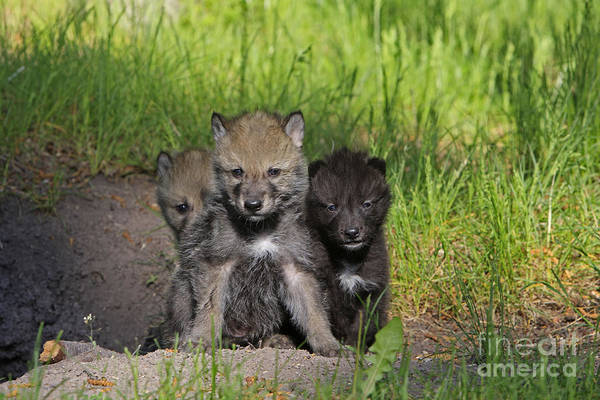 Timber Wolves Photograph - Timber Wolf Pups, Canis Lupus by M. Watson