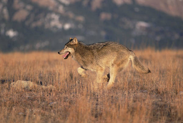 Wall Art - Photograph - Timber Wolf Running Colorado by Konrad Wothe