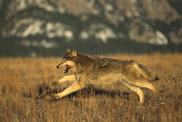 Wall Art - Photograph - Timber Wolf  Running by Konrad Wothe