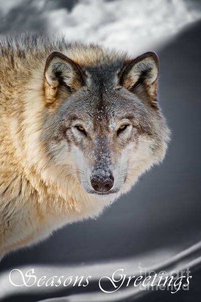 Photograph - Timber Wolf Seasons Greeting Card 21 by Wolves Only