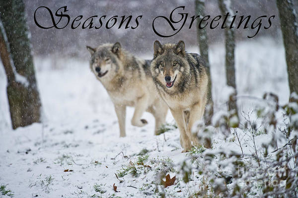 Photograph - Timber Wolf Seasons Greetings Card 15 by Wolves Only